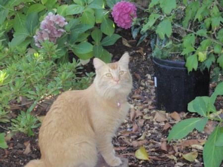 Lilly Lulu, Orange Cat, Sitting Garden