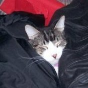 A Maine Coon cat wrapped in a sleeping bag.