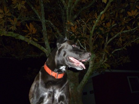 Emma the Lab at Night With a Tree in the Background