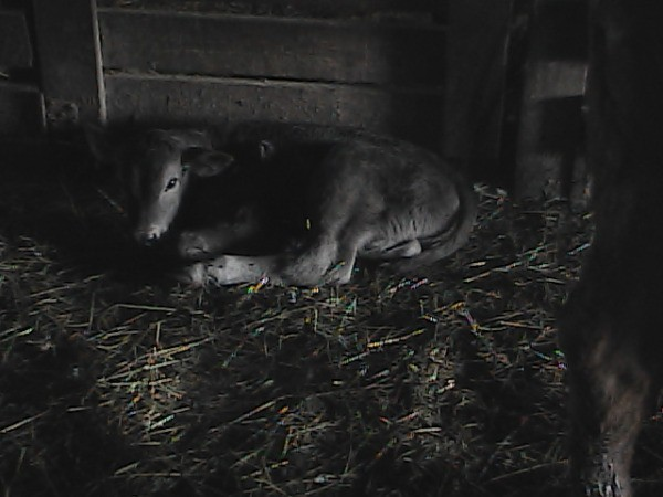 Black and White IMage of Calf Laying on Hay on Barn