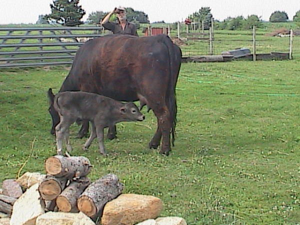 Calf Feeding from It's Mother