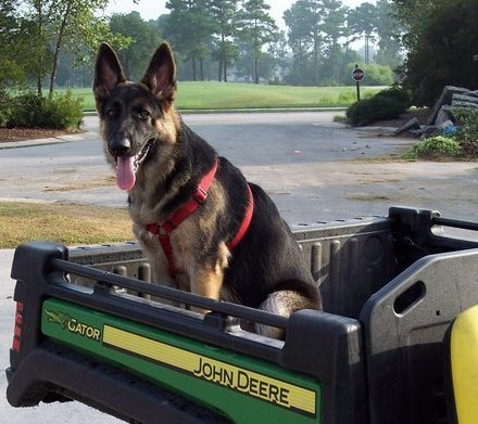 Loki the German Shepherd Sitting in the Back of a Tractor