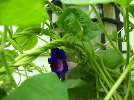 Morning glory enveloping porch light with purple blooms.