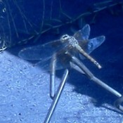 Dragonfly on Chain Link Fence