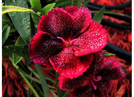 Dew Drops on Red Flower and Green Leaves