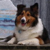 Ellee the Sheltie Laying in Front of Wooden Background
