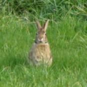 Wild Rabbit in Grass Field