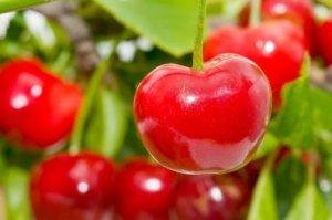 Photo of cherries hanging on a cherry tree.