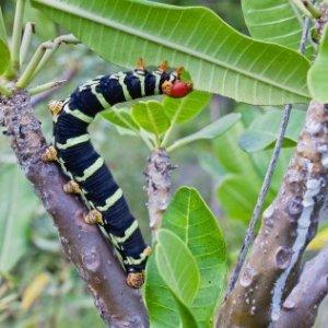 Caterpillar eating a leaf.