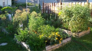 Raised bed vegetable garden.