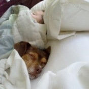 Chester the Mixed Breed Dog Under Sheets