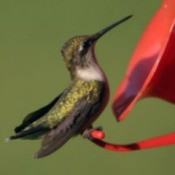 Hummingbird perched on a feeder.