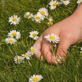 Child's hand picking an English daisy in the lawn.