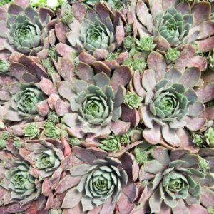 Closeup of hen and chicks.