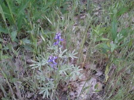 Purple Flowers in Yosemite National Park