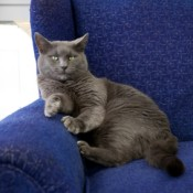 Grey Cat Sitting on Blue Chair