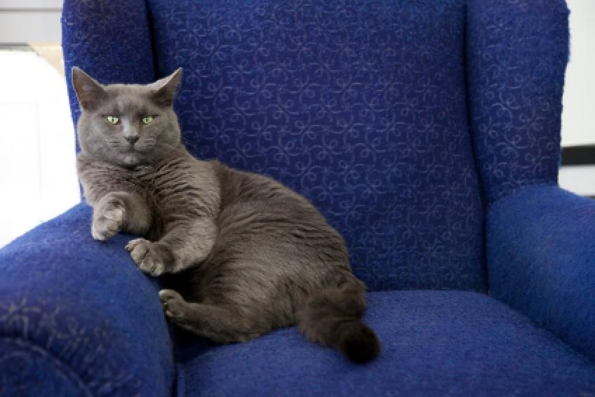 Grey Cat Sitting On Blue Chair