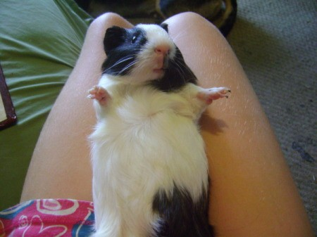 Baby the Guinea Pig Sitting on a Lap