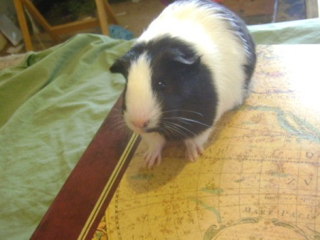 Baby the Guinea Pig on the Bed