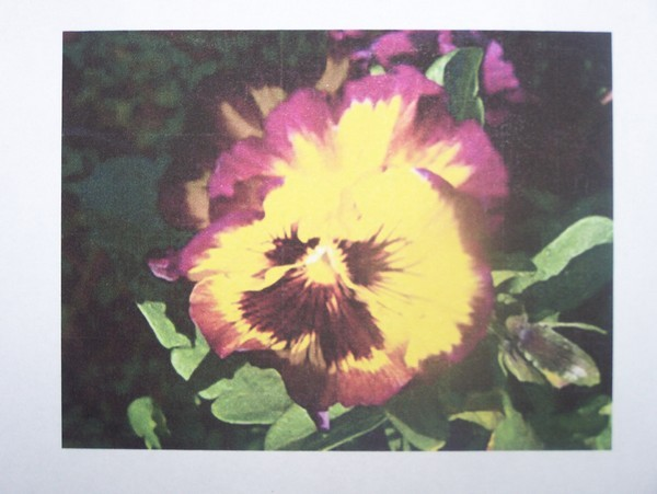 photo of a pansy with purple edges and a yellow center