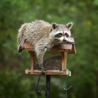 Getting Rid Of Raccoons Thriftyfun