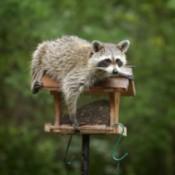 Raccoon Getting into Birdfeeder