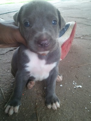 Hand holding up a young Pit Bull puppy.