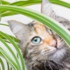 Calico cat peering through the leaves of a houseplant