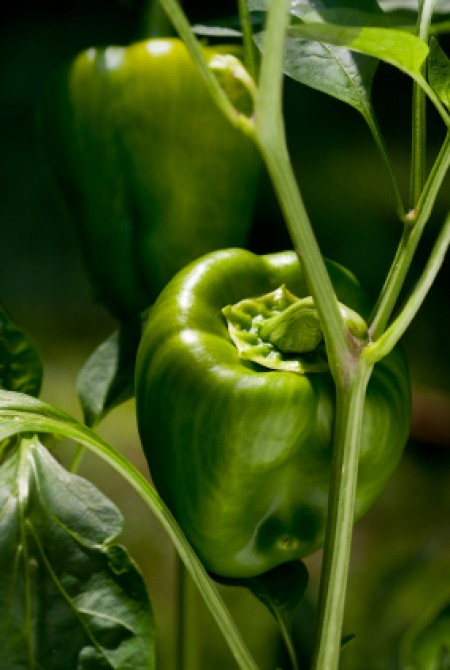 Closeup of green bell pepper on vine