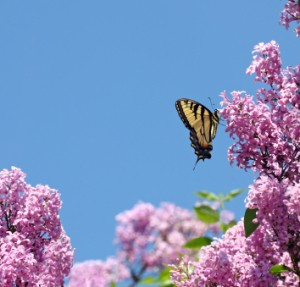 A butterfly on a lilac bush.