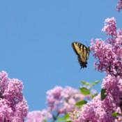A butterfly on a lilac bush.