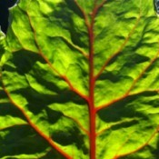 Red Veins in Green Swiss Shard Leaf