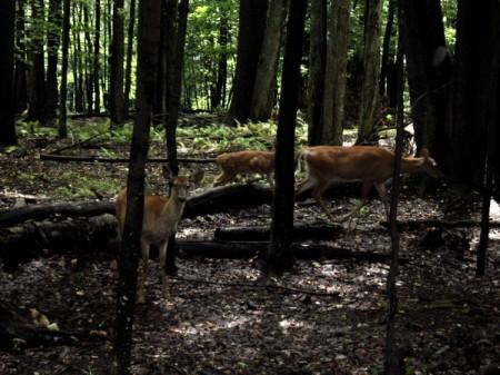 Several deer running in the woods.