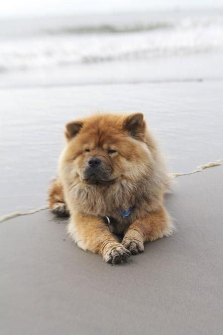 Chow lying on the beach.