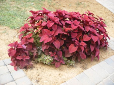 A patch of brightly colored coleus.