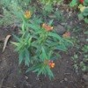 Butterfly Weed in Garden