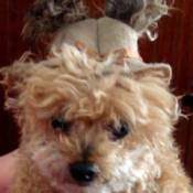 Jewel the Teacup Poodle