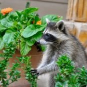 Raccoon sitting in the garden near a flower pot.