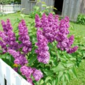 Lilacs growing near a white fence with a weathered outbuilding in the background.