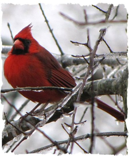 Cardinal in Frozen Tree