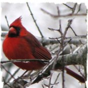 Cardinal in Frozen Tree