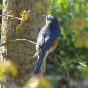 Bluebird on Tree