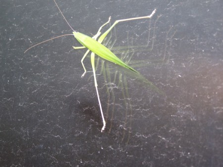 Praying Mantis on Glass