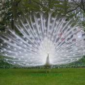 White Peacock Displaying it Feathers