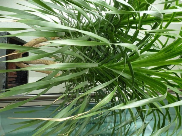 Dracaena Care Guide Growing Information and Tips