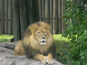 Lion at Cleveland Metroparks Zoo