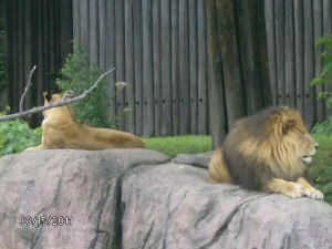 Lions at Cleveland Metroparks Zoo