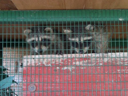 Raccoons Cacee and Cade
