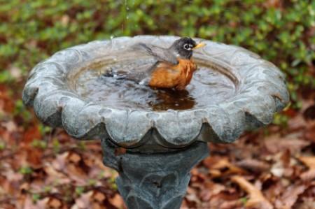 Robin splashing in cement flower shaped birdbath