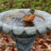 Robin splashing in cement flower shaped birdbath